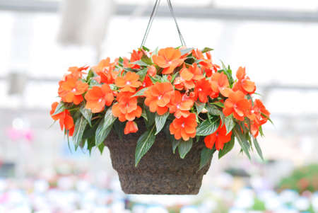 Orange impatiens, scientific name Impatiens walleriana flowers also called Balsam, flower bed of blossoms in pink, hanging flowers Reklamní fotografie