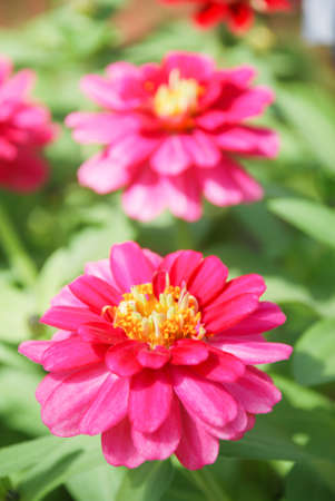 Zinnia growing in a pot with a shallow focus, dwarf zinnia flowers