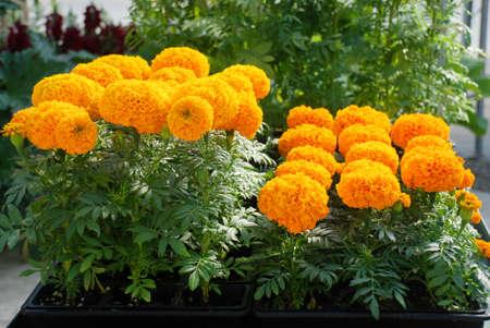 Marigolds Orange Color (Tagetes erecta, Mexican marigold, Aztec marigold, African marigold), marigold pot plant