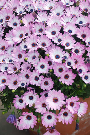 Light purple osteospermum or dimorphotheca flowers in the flowerbed, purple flowers.