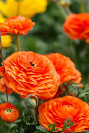 Ranunculus flora. A blossomed orange flower with detailed petals shot, potted plant