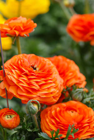 Ranunculus flora. A blossomed orange flower with detailed petals shot, potted plant Фото со стока
