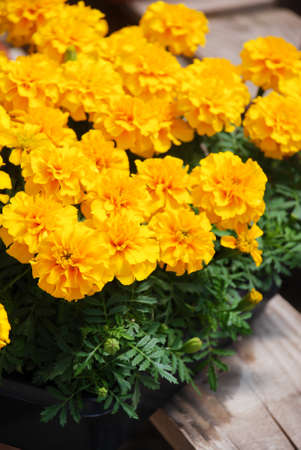 Tagetes patula French marigold in bloom, yellow flowers, green leaves, pot plant Reklamní fotografie