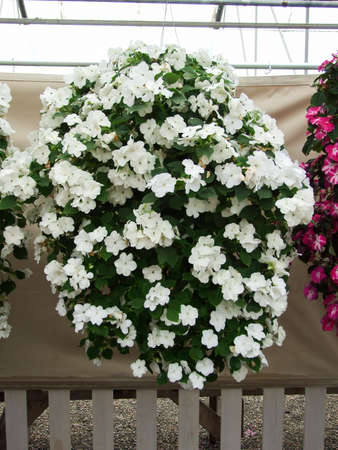 white impatiens in potted, scientific name Impatiens walleriana flowers also called Balsam, flower bed of blossoms in white