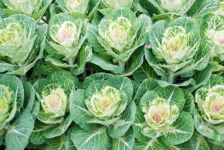 Ornamental cabbage in a botanical garden, flowers, and plants, environment, cut flowers
