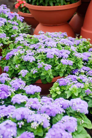 Ageratum, light purple ageratum, pot plants in the black tray