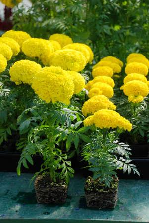 Marigolds Yellow Color (Tagetes erecta, Mexican marigold, Aztec marigold, African marigold), marigold pot plant