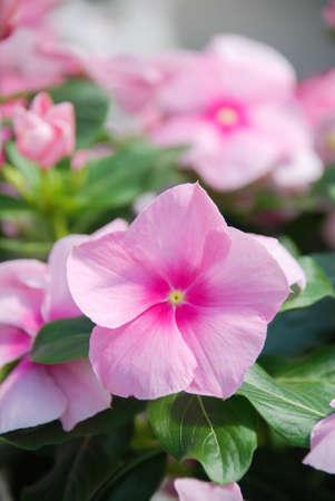 foliage vinca flowers, rose pink vinca flowers (Madagascar periwinkle), potted vinca Фото со стока