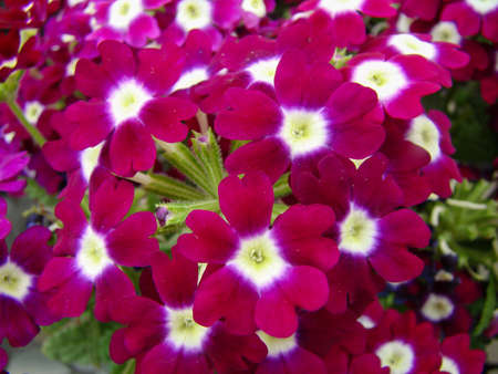 Purple color Garden Verbena blooming (Verbena tenera), pot plants
