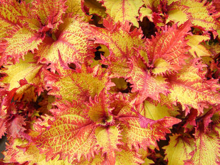 Red yellow leaves of the coleus plant, Plectranthus scutellarioides