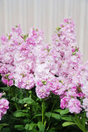 Matthiola incana flower, stock flowers, cut flowers in nursery, full bloom. Light Pink Matthiola Reklamní fotografie