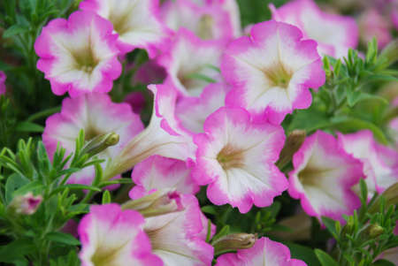 Blurry Petunia, Petunias in the tray,Petunia in the pot, Pink petunia