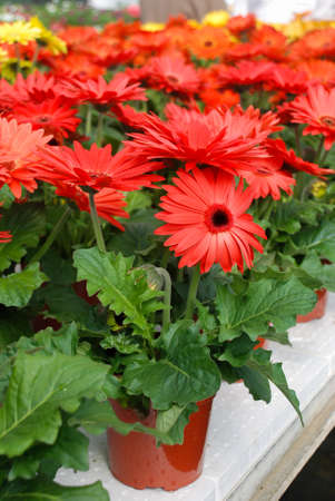 Red colour Gerbera daisy. Gerbera plant in pot on the table. Full bloom.
