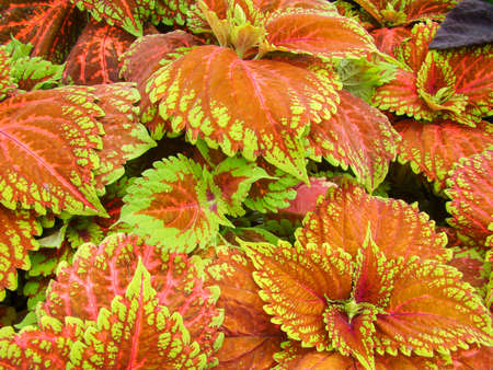 Red green leaves of the coleus plant, Plectranthus scutellarioides