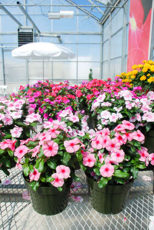 foliage vinca flowers, mixed color vinca flowers (Madagascar periwinkle), potted vinca