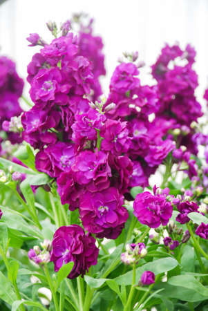 Blurry Matthiola incana flower, stock flowers, cut flowers in nursery, full bloom. Purple Matthiola