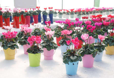 Blurry Cyclamen with a boot pot in the nursery. Flower greenhouse. Primulaceae Family. Cyclamen persicum mixed color