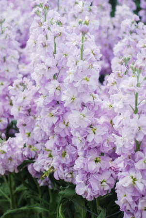 Matthiola incana flower, stock flowers, cut flowers in nursery, full bloom. light purple Matthiola