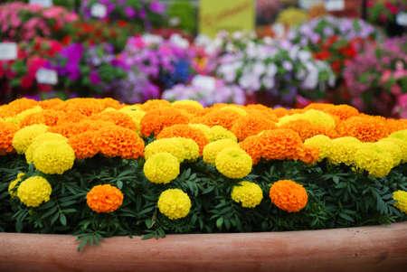 Marigolds Mixed Color (Tagetes erecta, Mexican marigold, Aztec marigold, African marigold), marigold pot plant Фото со стока