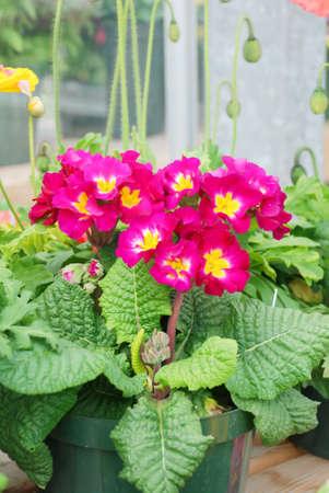 Primrose Primula Vulgaris blossom. Multicolor Country Garden Primula Flowers, pot plant Фото со стока