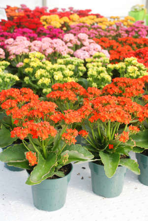 Kalanchoe plant with mixed color flowers, Kalanchoe blossfeldiana, potted Kalanchoe