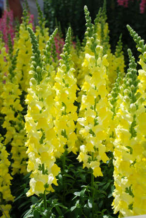colorful Snapdragon (Antirrhinum majus) blooming in the garden background with selective focus, yellow cut flowers