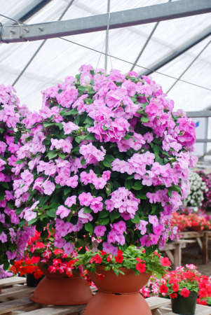 Pink impatiens in potted, scientific name Impatiens walleriana flowers also called Balsam, flower bed of blossoms in pink
