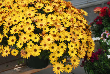 Yellow osteospermum or dimorphotheca flowers in the flowerbed, Yellow flowers Reklamní fotografie