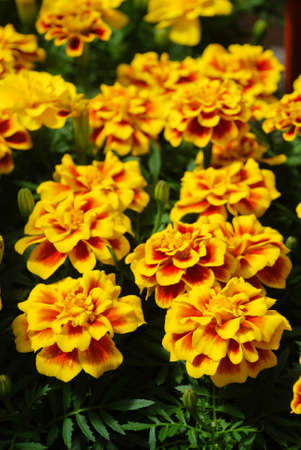 Tagetes patula French marigold in bloom, orange yellow flowers, green leaves, small pot plant