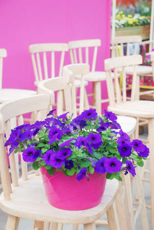 Blurry Petunia, Petunias in the tray,Petunia in the pot, blue petunia