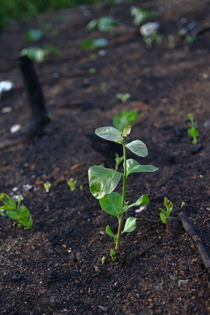 germinate: Plants growing up after wildfire as a newborn.