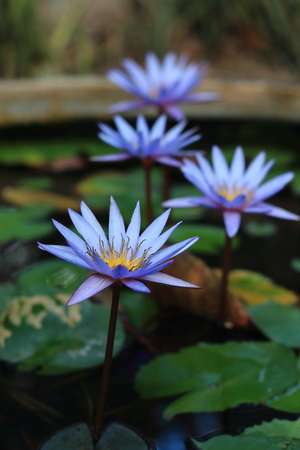 graden: Lotus in the flower pot with water filled.