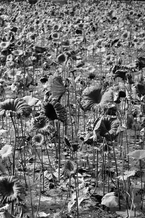 withered: Lotus in the field-some withered.