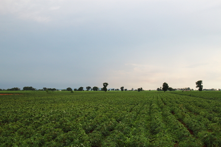 months of the year: Cassava field in Thailand. It is 3 months year old after planting in upland.