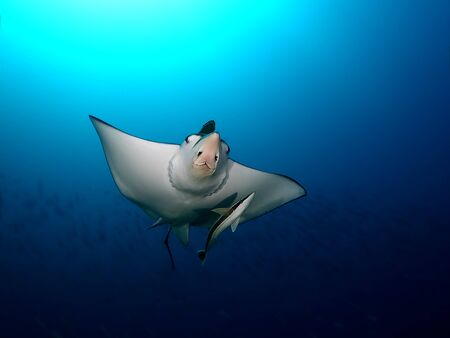 Manta ray swim into clear blue water Stock Photo