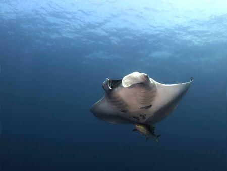 Manta ray swim into clear blue water Standard-Bild