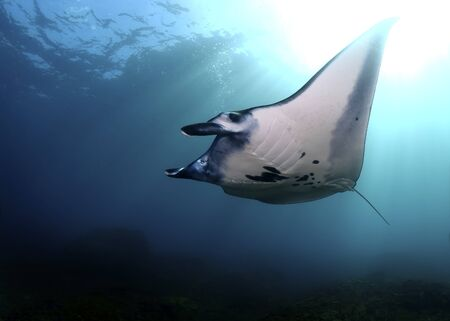 Manta ray swim into clear blue water with the Sun on background