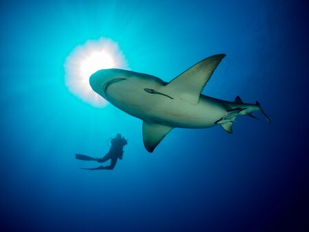 Danderous shark swim throw the crystal clear water with sun on background and moving around diver