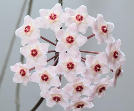 Inflorescence a houseplant Hoya - waxy ivy