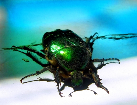The big green beetle to be on a garden s table  Stock Photo