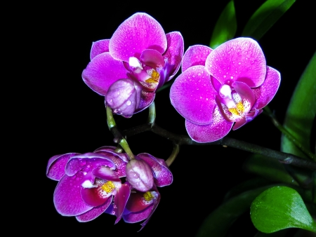 Flowers of an orchid on a black background