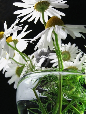 Flower of a camomile garden in a vase, macro Stock Photo