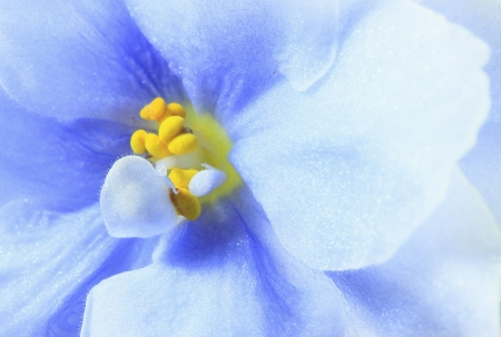 Flower of Saintpaulia  blue close up  photo