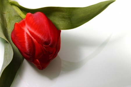 Red tulip on a light background  Stock Photo