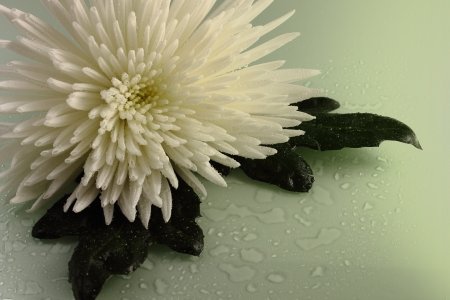 scintillating: The white chrysanthemum, two green leaves, water drops on a white background is shined with green light.