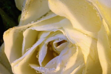 Yellow rose and dew drops on it close up