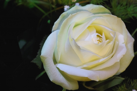 The white rose is against a dark background