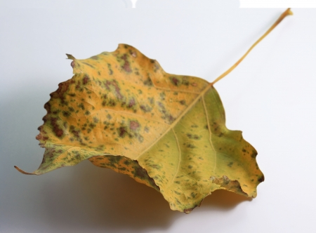 The yellow dry autumn leaf of a poplar is on a white  window sill Stock Photo
