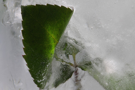 The image green the branch of a rose is in ice, which with air inside