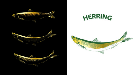 Several contour vector drawings of herring on a background Vector